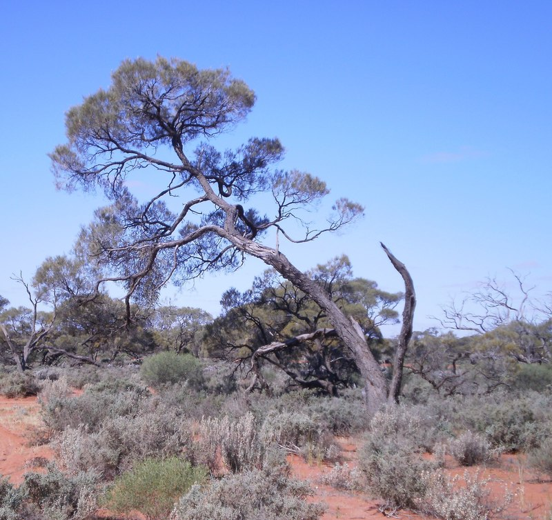 Tree In The Outback