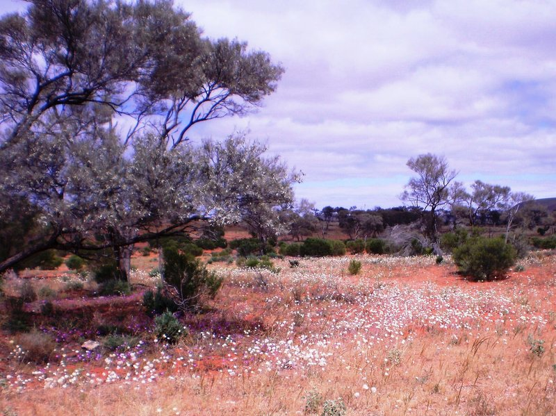 Wildflowers Near Roxby Downs  - Writing About The Bush